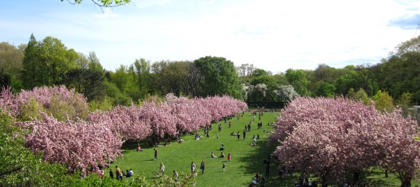 The Cherry Blossom Festival at the Brooklyn Botanical Garden