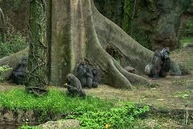 Bronx Zoo Gorilla Forest.jpg